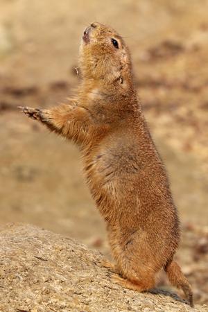 Alert prairie dog Foto de archivo