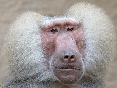Adult Male Hamadryas Baboon  in closeup shot