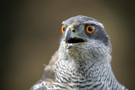 northern goshawk  in closeup shot