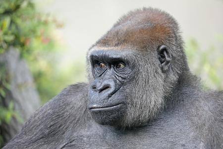 Vrouwelijk gorillaportret Stockfoto - 93237350