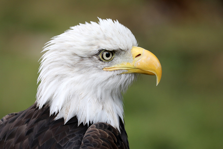 Close up view of American Bald Eagle