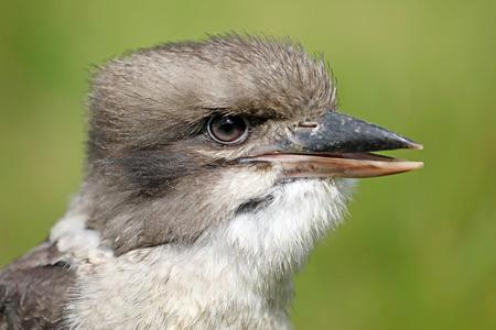 Kookaburra  in closeup shot Stock Photo