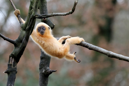 yellow cheeked gibbon