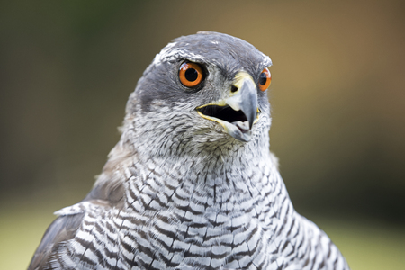 Northern goshawk  in closeup shot Stock Photo