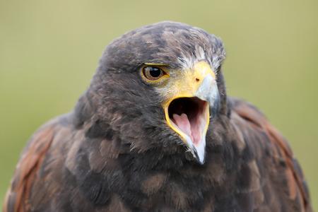 Harriss hawk  in closeup shot