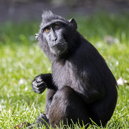 Sulawesi crested macaque
