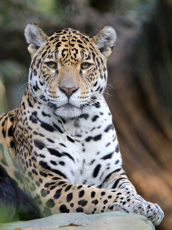 sitting Jaguar
