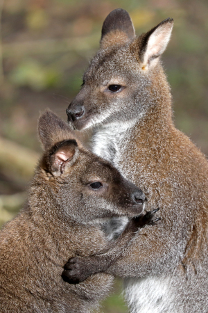Mating Bennets Wallabies Stock Photo