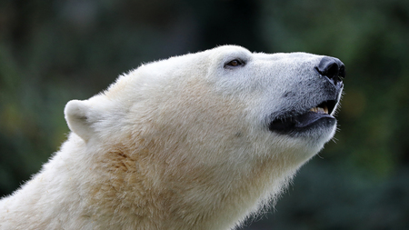 Polar bear close-up Banque d'images