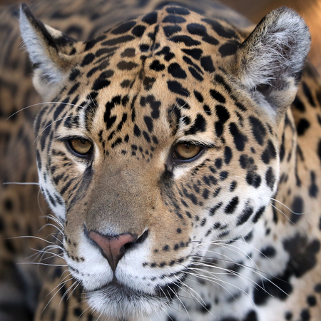 Spotted jaguar portrait