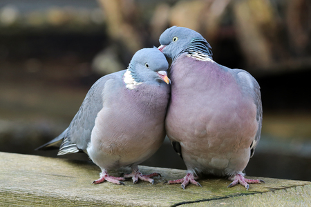 Wood pigeons in love Banque d'images