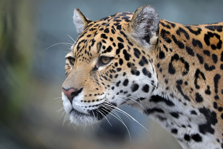 Jaguar close-up portrait Stock Photo