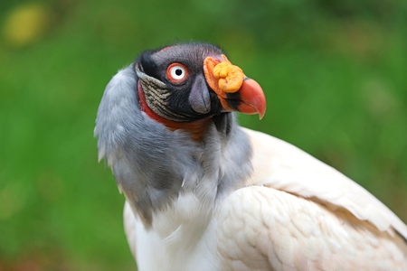 King vulture close-up portrait with a green background