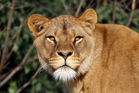 Lioness with a green background Stock Photo