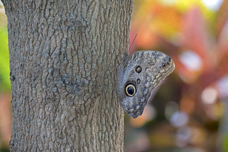 owl butterfly close-up