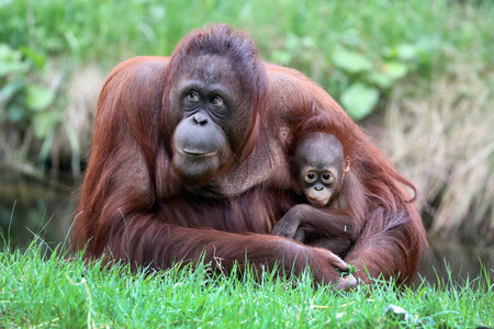 Orangutan mother with baby 版權商用圖片 - 101614520