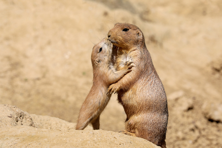 Black-tailed prairie dog mother with child 免版税图像