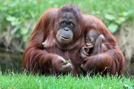 Orangutan mother with baby