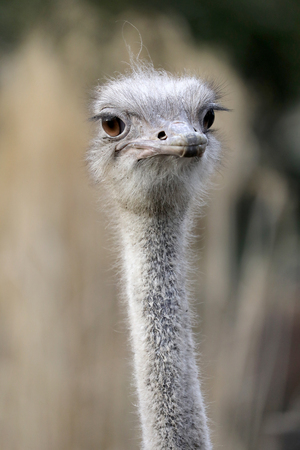 Ostrich head close-up portrait