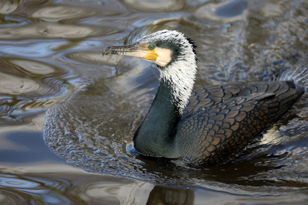 Great cormorant portrait