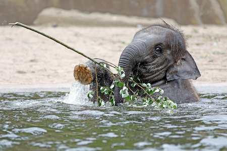Young Indian Elephant in the water Imagens
