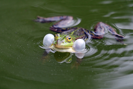 True frog in pond Stock Photo
