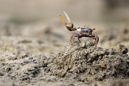 Uca tangeri crab Stock Photo
