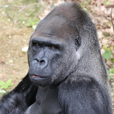 retrato de gorila de cabeza Foto de archivo