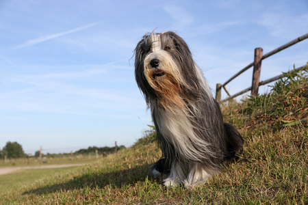 Bearded Collie portrait
