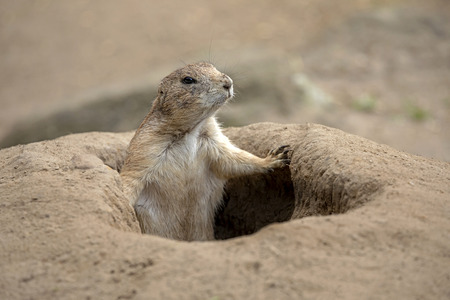 Prairie dog in hole Standard-Bild