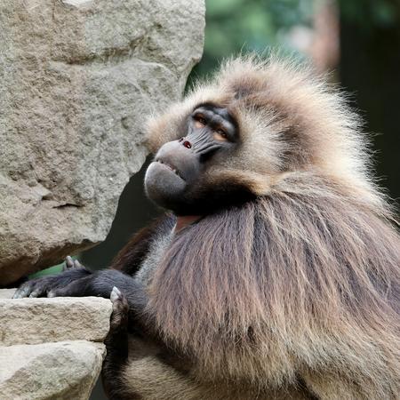 Male bleeding-heart monkey