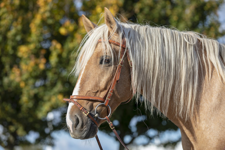 Andalusian horse portrait Stockfoto