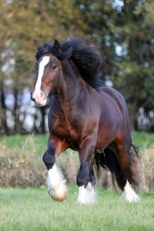 Portrait of a gypsy horse Stock fotó
