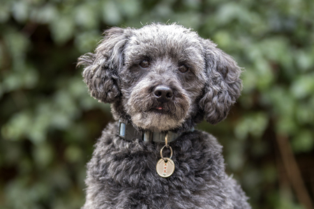 cute grey schnoodle in autumn park Stockfoto - 115742042