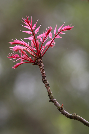 twig of Toona sinensis 'Flamingo', incredible tree with bright pink leaves