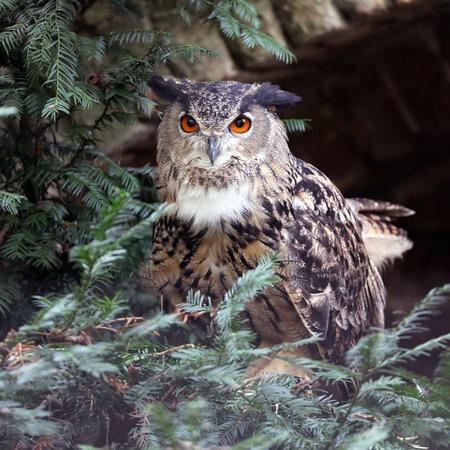 Eurasian eagle-owl at nature, close up view