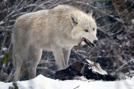 Hudson Bay Wolf in snow Stock Photo