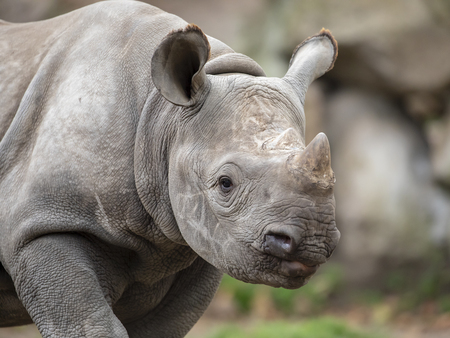 Portrait of grey Rhino youngster, close up 免版税图像