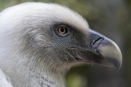 close-up view of beautiful Gyps rueppellii bird in wildlife