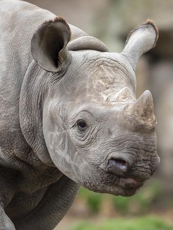 Portrait of grey Rhino youngster, close up Reklamní fotografie