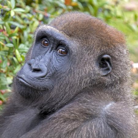 Beautiful Back gorilla in natural habitat