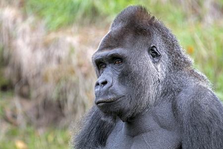 Silverback gorilla portrait in natural habitat 版權商用圖片