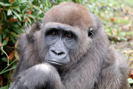 Hermoso gorila de espalda en hábitat natural