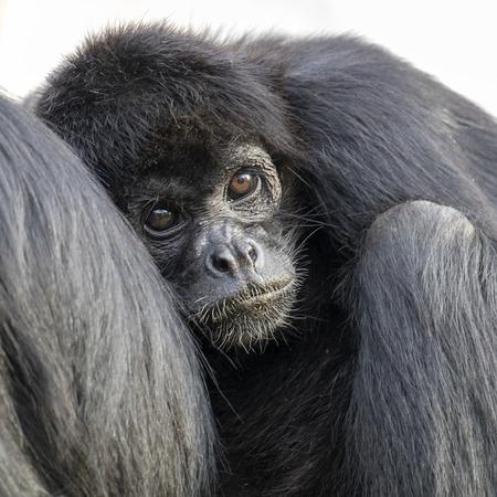 Mono araña negro colombiano al aire libre