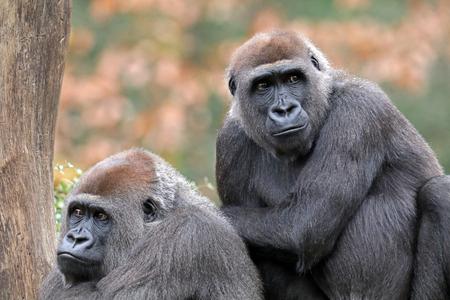 Silverback gorillas sitting together in park