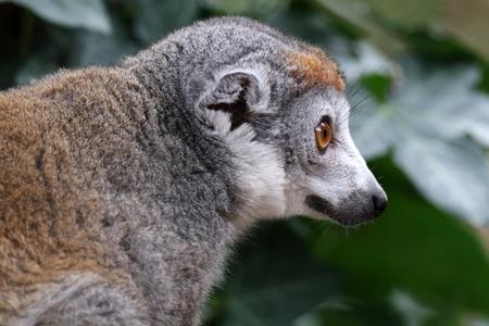 portrait of cute crowned lemur in natural habitat