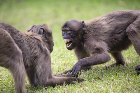 two Gelada monkeys playing on green grass