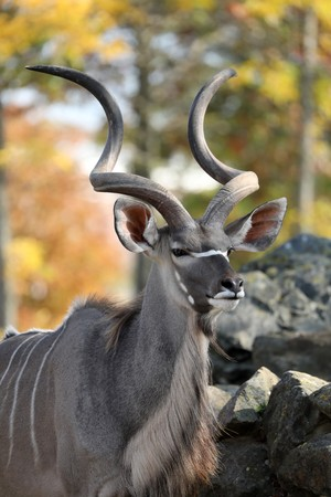 greater kudu antelope with big horns