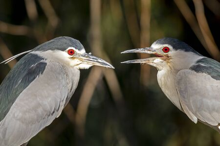 close-up view of black-crowned night herons in wildlife