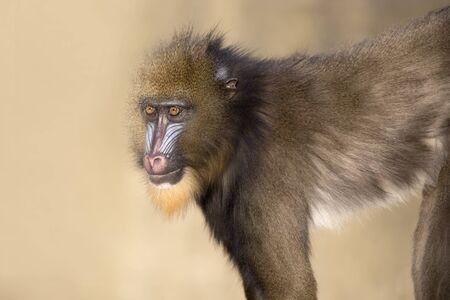close-up view of beautiful mandrill looking at camera in wildlife